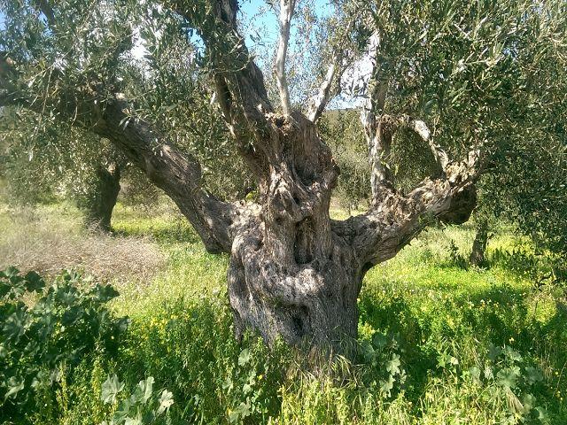 olivtreealone